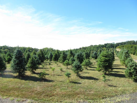 The wide tree selection at Giamarese Farm.