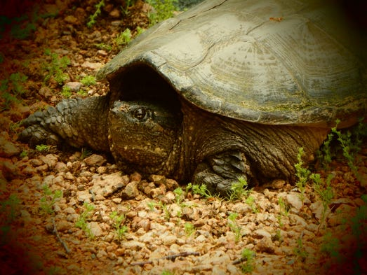 A snapping turtle in northern Wisconsin in June 2014.