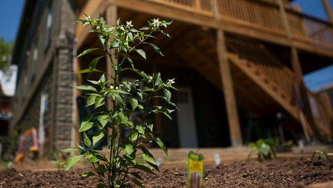 A flowering plant rises from the raised garden beds at the Valley Area Community Support Inc.'s apartment building on Kalorama Street in Staunton on Friday, May 22, 2015.