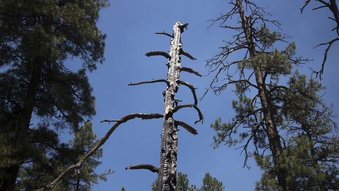 The Stubbs Fire was ignited by lightning striking this tree on July 9, 2018. Officials quickly decided to turn a naturally-occurring blaze into a managed burn.