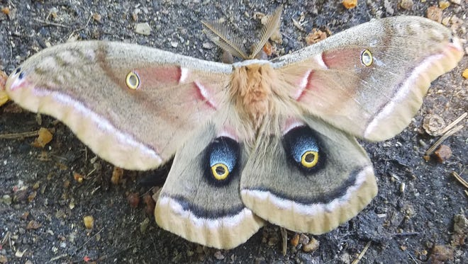 Port Huron resident David Brunn used his cellphone to take a photo of this large moth. It appears to be a polyphemus moth.