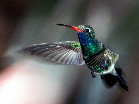 If you've found a bird, including a hummingbird, here are steps to take.