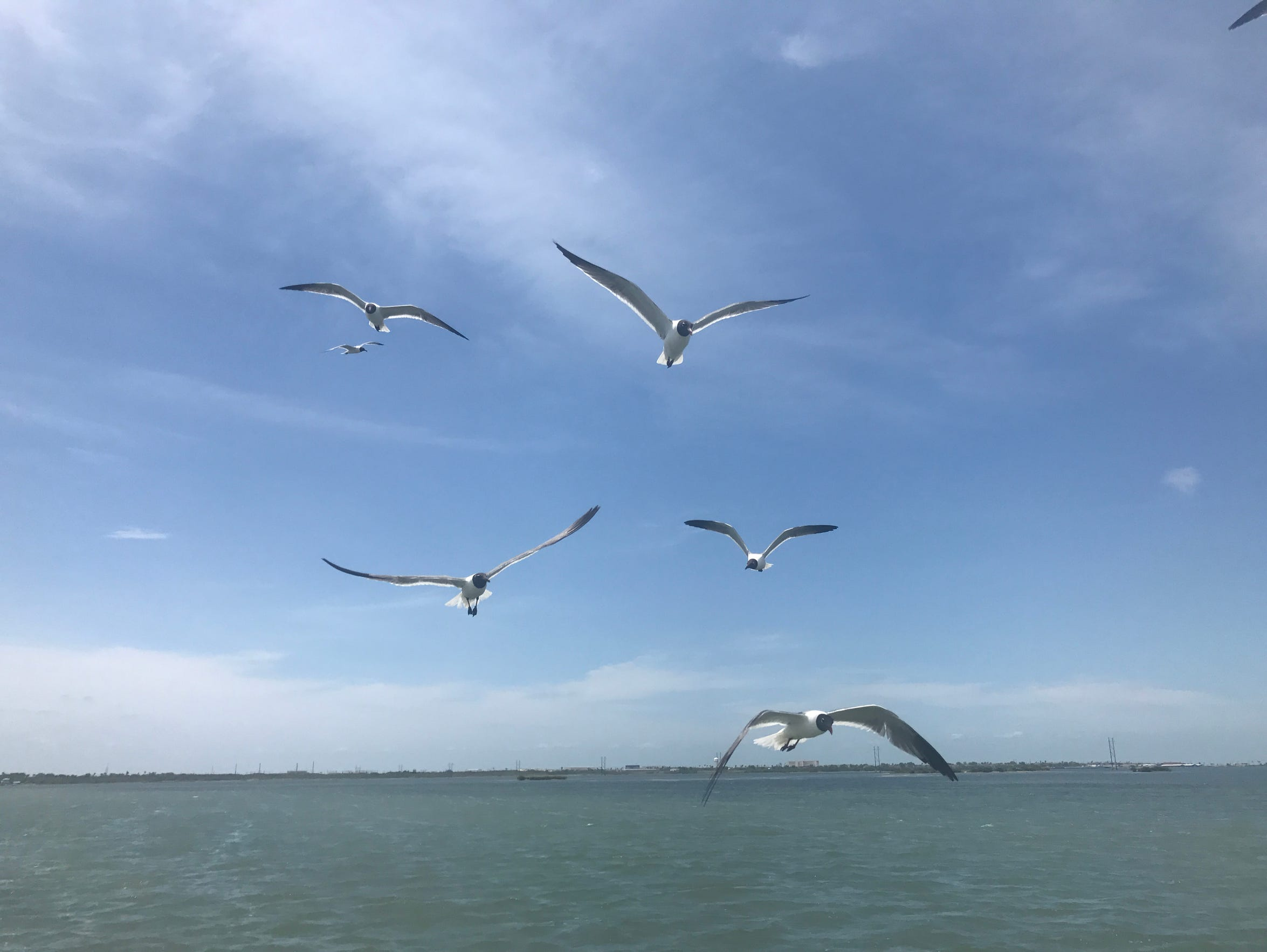 Gulls and terns have learned to follow boats with anglers