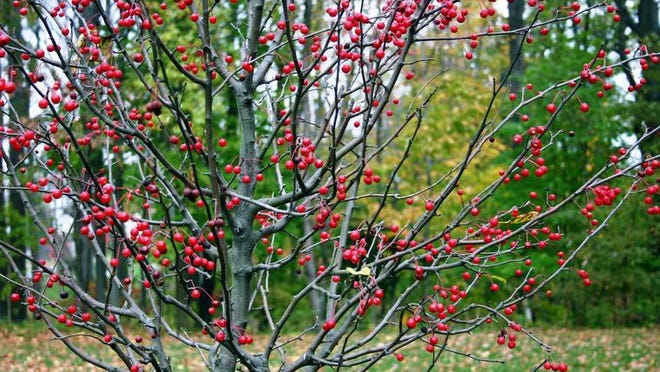Winterberry Holly, with leaves shed in autumn and which then sprout red berries on leafless branches. This colourful display of red lasts through fall and winter.
