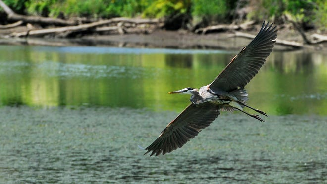 A great blue heron flies above the Wappinger Creek in the Village of Wappingers Falls.