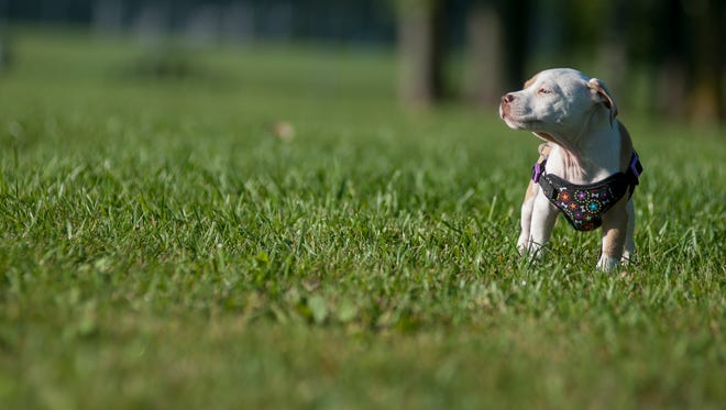 Cue, a pitbull rescue dog, plays in the park Monday, Sept. 19, at East China Township Park.
