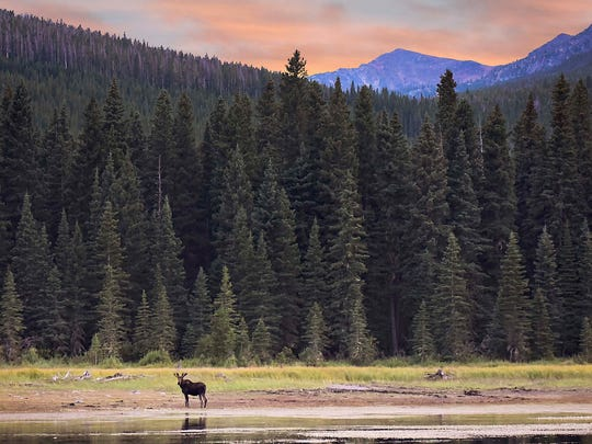 A moose at Gypsy Lake is part of the photography collection Ally and Charley Willett have assembled for their website promoting the Little Belts region, from Belt to White Sulphur Springs.