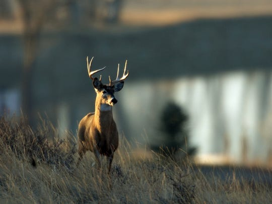 In this 2007 photo, a whitetail deer buck stands on a ridge overlooking the Missouri River off Flood Road south of Great Falls.