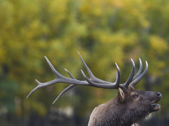 In this file photo, a bull elk bugles in Moraine Park in Rocky Mountain National Park.