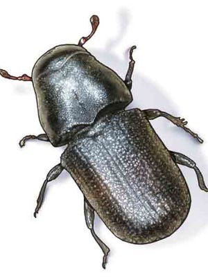 A mountain pine beetle.