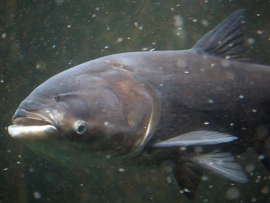 18 billion would keep asian carp out of great lakes for Can you eat carp fish