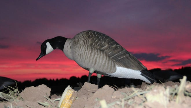 A Canada goose decoy is positioned at dawn in a harvested corn field in Wisconsin.