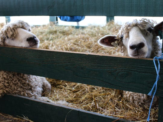 A pair of Lincoln longhorn sheep poke their heads between a fence at Champlain Valley Fair in Essex Junction on Friday.