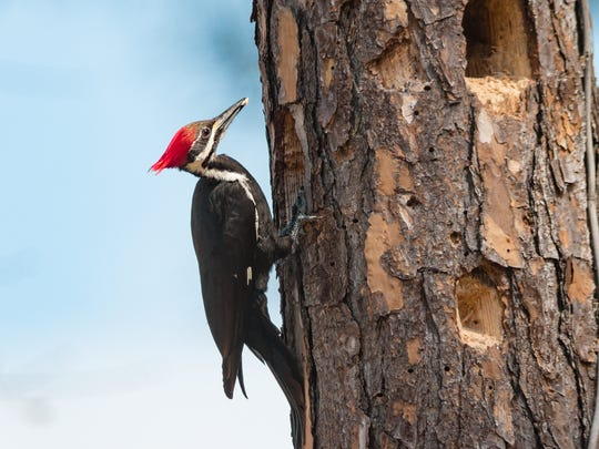 Pileated woodpeckers drill holes in dead trees that
