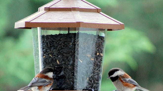 Black-oil sunflower seeds attract the greatest variety of birds, including chickadees.