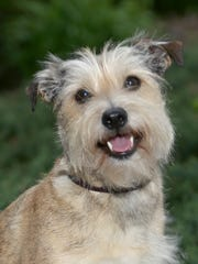"""Skippy, a miniature schnauzer mix, shares the role of Sandy in Skylight Music Theatre's production of """"Annie."""""""