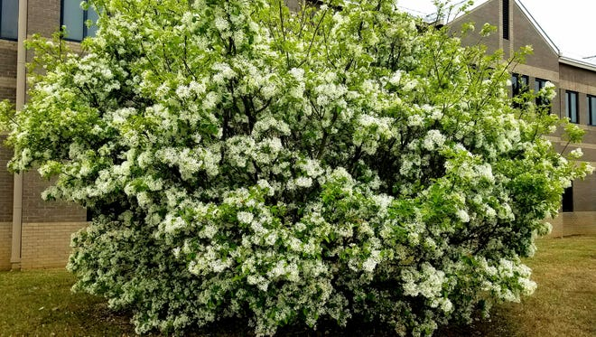 Generous blooms of China Snow fringetree breathes fragrance into the spring landscape.