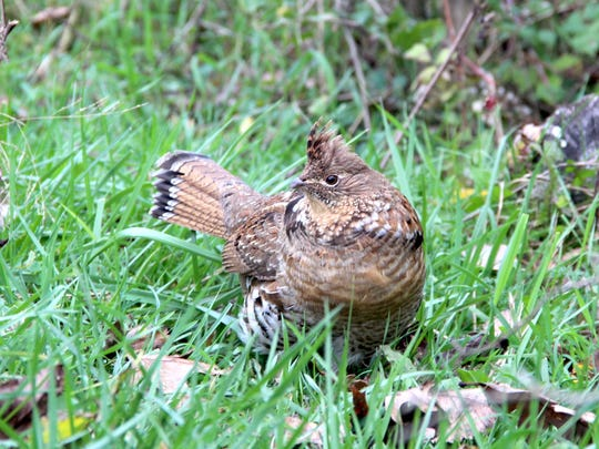 A male ruffed grouse forages along the edge of a woodlot in southwestern Wisconsin.