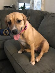 Nala is a 10-month-old, 50-pound, female boxer/hound