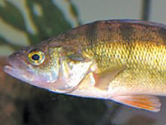 635932041115907930-USR1002410-105146-yellow-perch-USEPA-wayne-Davis-New2.jpg