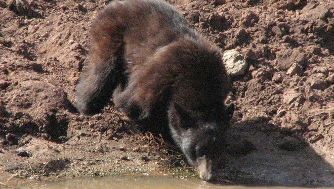This bear was having a drink not far from a road about 4 miles outside of Jerome.