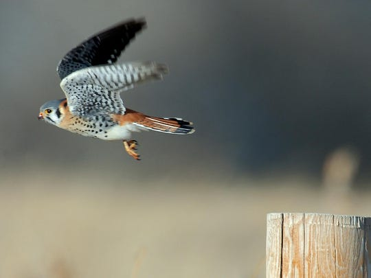 """American kestrel, also known as a """"sparrow hawk"""" takes to the air from a fence post near River Drive North and Giant Springs Road in 2006. Kestrels feed on insects, rodents, and small birds like house sparrows."""