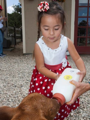 Isabelle Hefner, 3, feeds Diva, a 6-day-old cow, during a tour of the Chivas Skin Care farm in Fillmore during Farm Day in 2014.