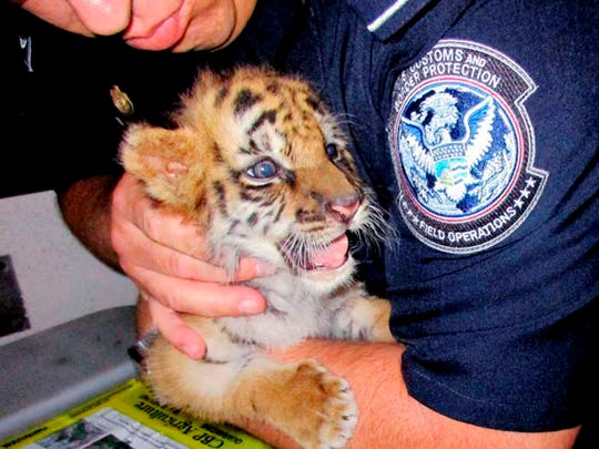 This Aug. 23, 2017, file photo provided by U.S. Customs and Border Protection shows an agent holding a male Bengal tiger cub that was confiscated at the U.S. border crossing at Otay Mesa southeast of downtown San Diego. 18-year-old Luis Valencia was sentenced Tuesday, Feb. 20, 2018, to six months in prison for smuggling in the cub from Mexico.