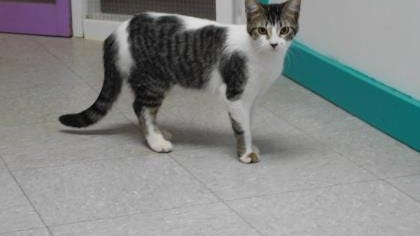 Pumpkin is a young, female, gray and white tiger-striped cat looking for her forever home!