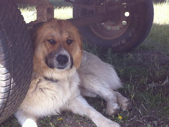 Bulgarian karachachans are part of a guard dog study.