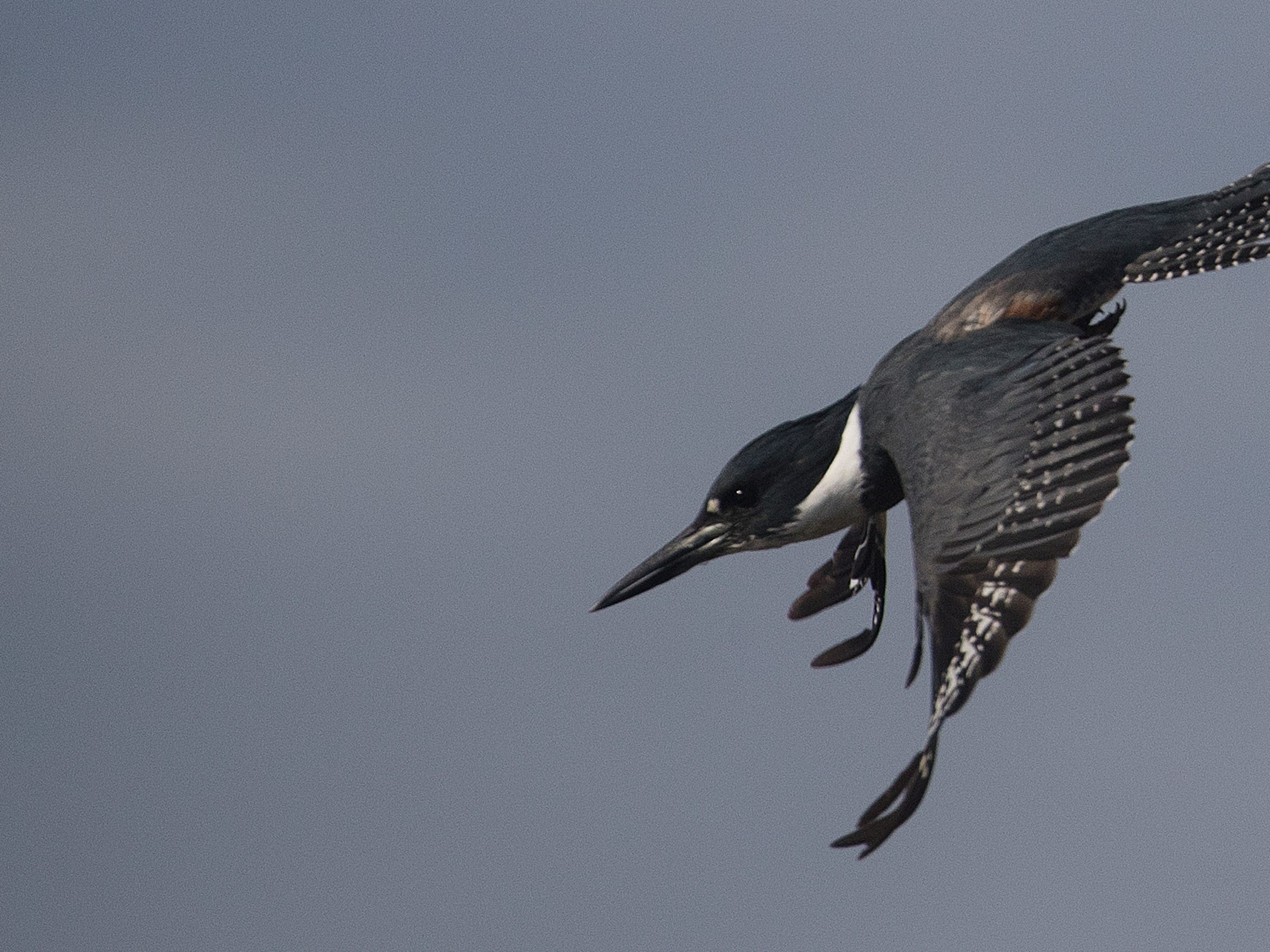 A belted kingfisher dives off a limb along the Kissimmee
