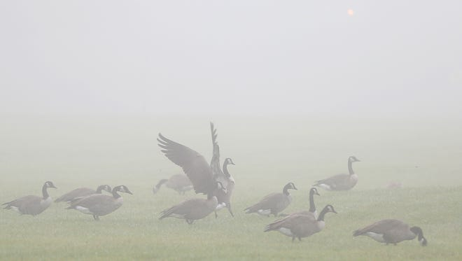 Canada geese graze on a field under a blanket of fog on the northwest side of Indianapolis, Thursday, August 18, 2016.