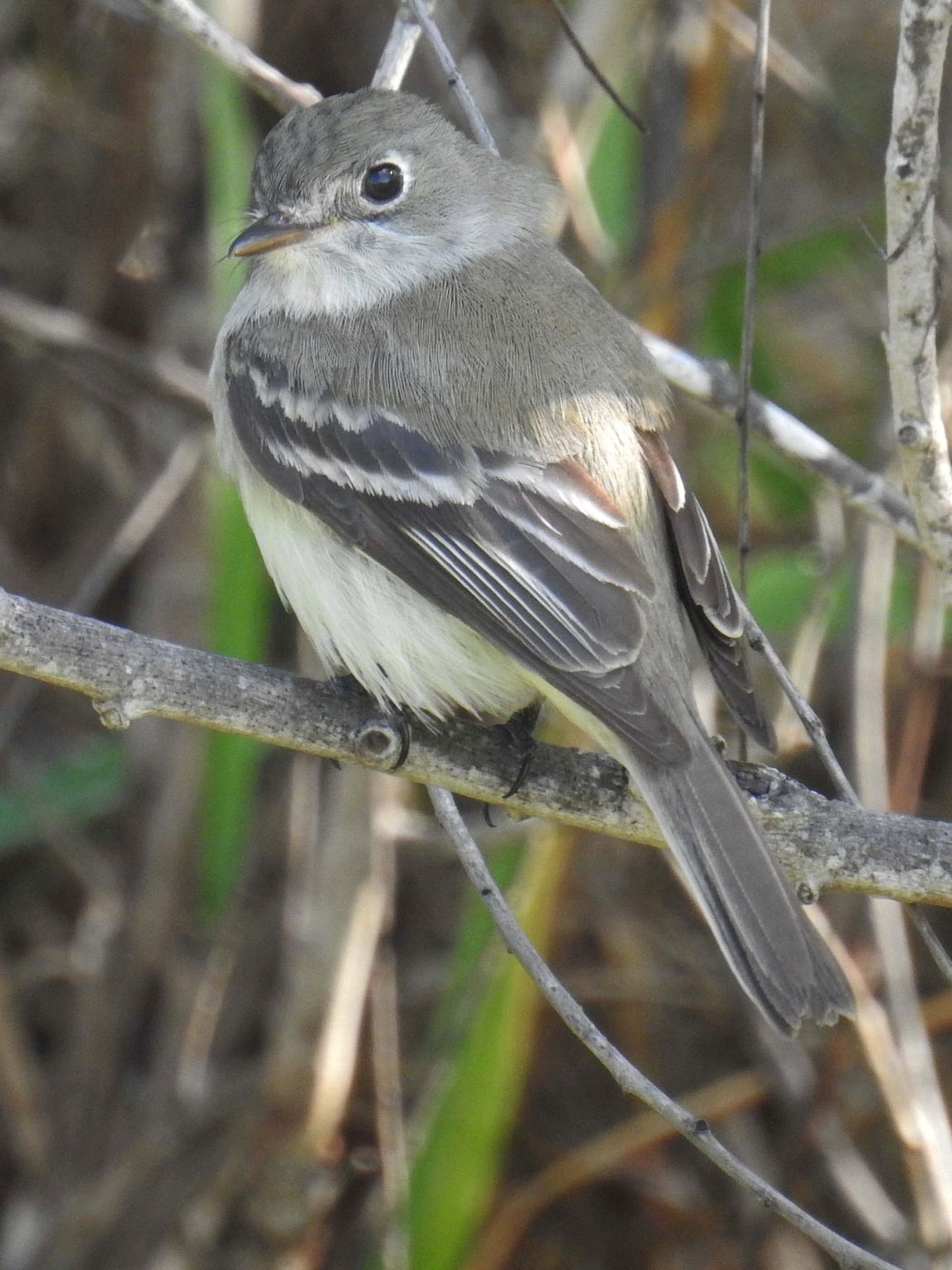This Least Flycatcher was photographed at Hazel Bazemore