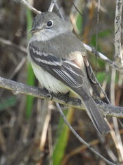 This Least Flycatcher was photographed at Hazel Bazemore County Park in Calallen.