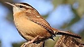 Those participating in this weekend's Great Backyard Bird Count may be able to spot a Carolina wren, like this one.