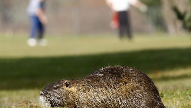 The House of Representatives is voting today on a bill that includes a $1.75 million pot of money that the U.S. Fish and Wildlife Service can tap into to kill invasive nutria. It also opens up about $300 million in funding to address restoring environments they've destroyed.