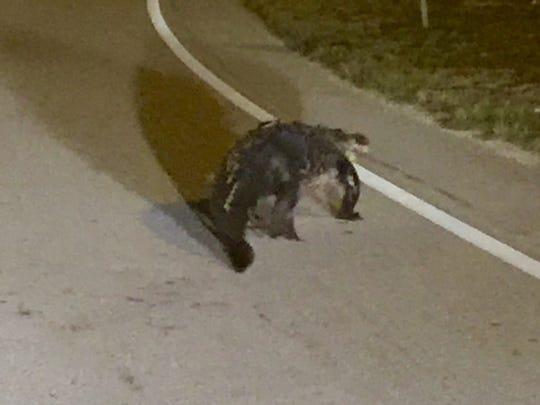 Alligator on Interstate 75 ramp