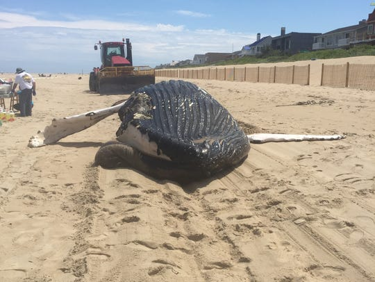 A humpback whale that washed onto Bethany Beach on