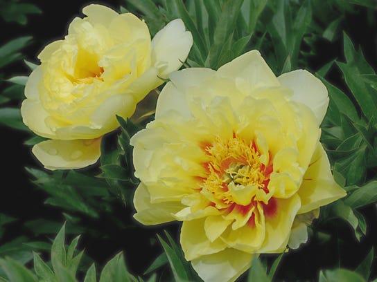 Adelman Peony Gardens, 5690 Brooklake Road NE, features 25 acres of flowers.