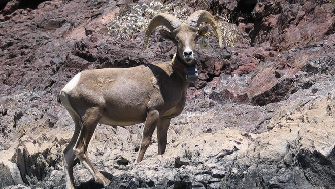 Passengers on a Canyon Lake cruise presented by Arizona Game and Fish may see desert bighorn sheep like this one.