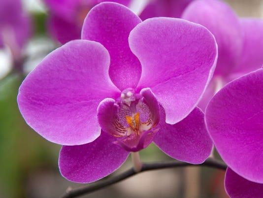 636531059916741281-1-29-18-Phalaenopsis-orchid.jpg