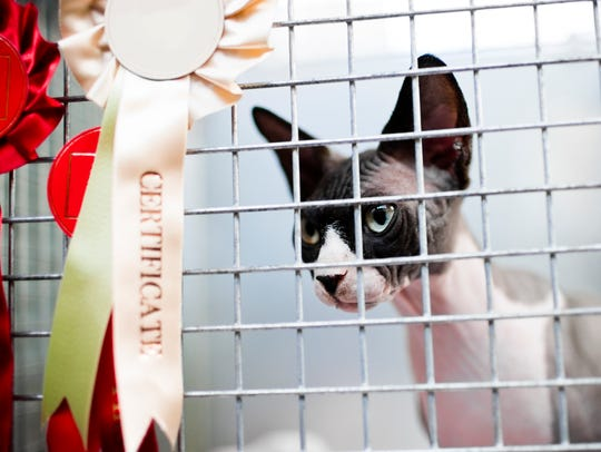 Cat judging takes place Wednesday at the Wisconsin
