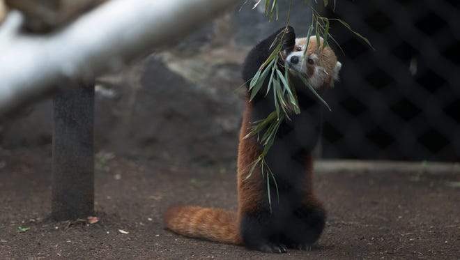 Sherman a 5-year-old male red panda roams his new home at the Brandywine Zoo Wednesday afternoon. Sherman is one of two new red pandas at the Zoo.