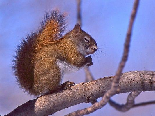 Red squirel