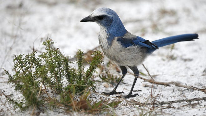 A Scrub-Jay forages for buried acorns at the   Lyonia Preserve in Deltona Friday, Jan. 3, 2020.