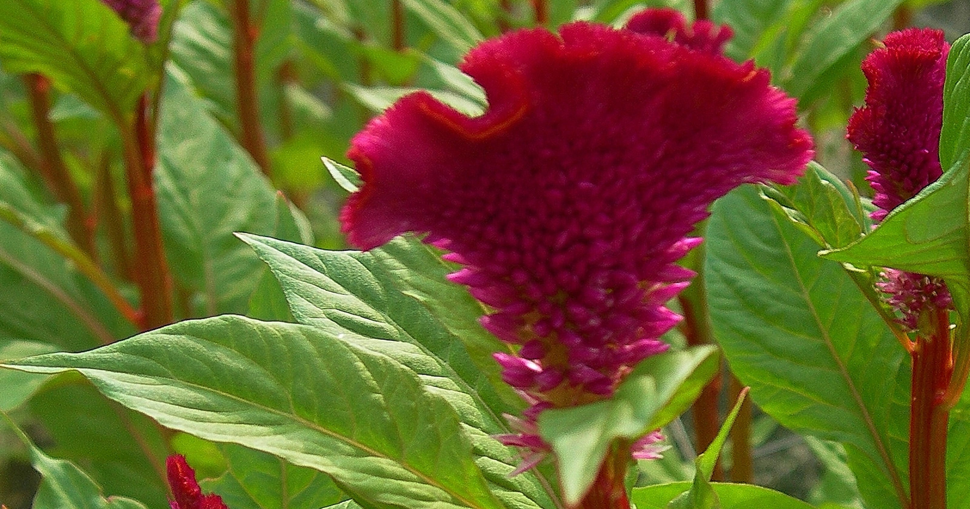 Celosia One Of Best Annuals For Summer Color In Treasure Coast Gardens