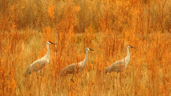 Greater Sand Hill Cranes as photographed by local photographer Dan Gauss.