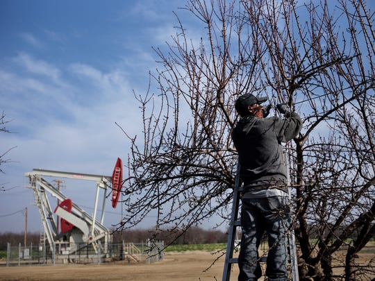 A farmworker ties almond tree branches with strings as a pumpjack operates near the orchard, Friday, Jan. 16, 2015, in Shafter.