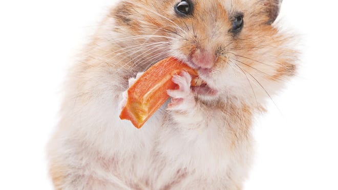 Hamsters like treats, such as carrots and other vegetables and fruits. Avoid human junk foods.