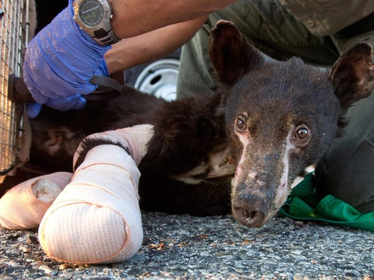A file photo of Cinder, a female bear cub badly burned in a Washington wildfire, as she is prepared for transport to Lake Tahoe on Aug. 4, 2014.